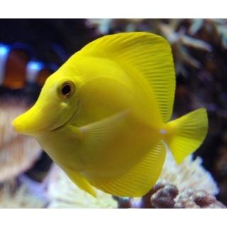 Зебрасома жёлтая. Zebrasoma flavescens. Размер М