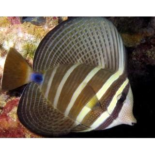 Зебрасома парусная. Zebrasoma veliferum. Размер M (5-7 см).