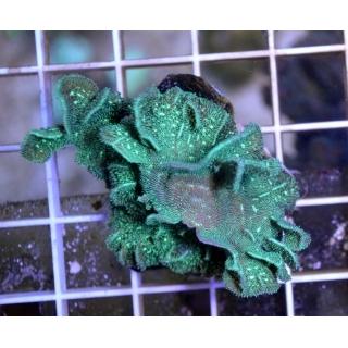 Pavona cactus - Павона кактус, размер S