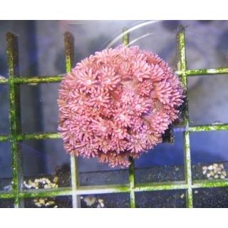 Goniopora sp. Гониопора розовая, размер S