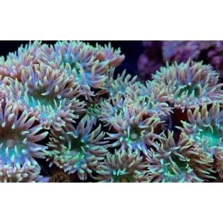 Duncanopsammia axifuga - Коралл Дункан
