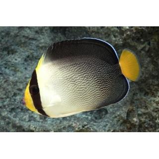 Ангел хетодонтопл желтохвостый. Chaetodontoplus mesoleucus, размер S (5-6см)